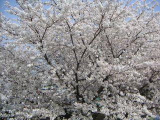 20050410_sakura_1.jpg