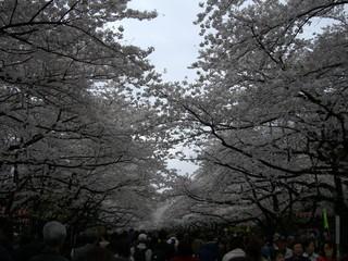 恩賜公園桜並木